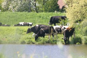 Reitbrook, Vorderdeich 275: Milchhof Reitbrook - Hof Langeloh - Kühe und Kuhstall - Schulbuch-Fotos mit Lisa Körner (4) - Einverständnis der Mutter für Veröffentlichung liegt voll.